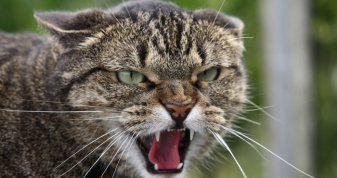 На Дубенщині через сказ у домашнього кота ввели карантин
